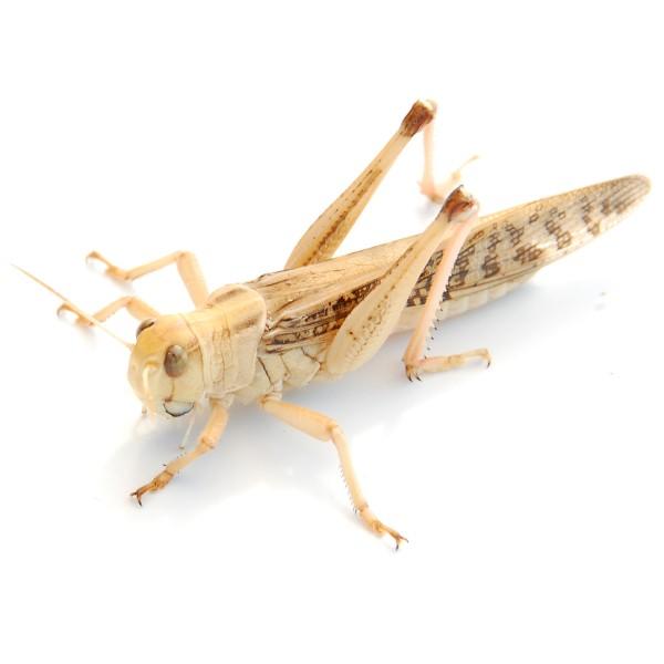 Wanderheuschrecken