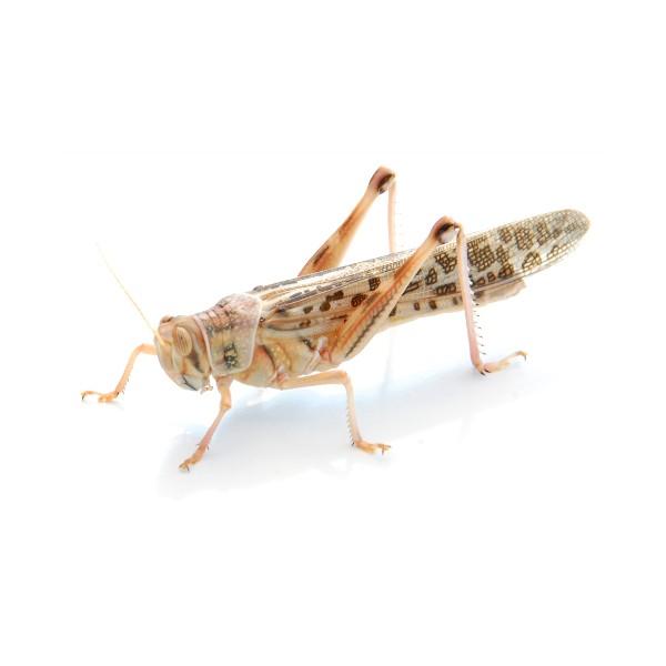 Wüstenheuschrecken (Schistocerca gregaria) Adult